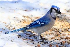 blue jay at Lake Meyer Park IA IMG_9764 (lreis_naturalist) Tags: park county blue lake jay reis iowa larry meyer winneshiek