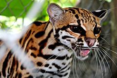 Tigrillo2 (MARSIGLIA31) Tags: cats america cat leopardo amazon forrest little south tiger gato jungle felinos felino sur felines choco tigre ocelot manchado nativo leopardus cunaguaro tigrina oncilla tigrillo tigrinus chocoano istmina