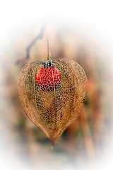 Dried physalis (mamietherese1) Tags: soe twop autofocus greatphotographers theperfectphotographer world100f exquisiteimage phvalue magicunicornverybest untouchabledream