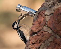 GSWP_1088 (Peter Warne-Epping Forest) Tags: woodpecker tenerife dendrocopusmajor greatspottedwoodpecker laslajas