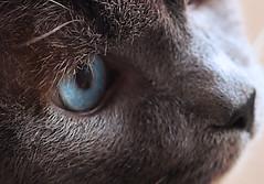 Harcuvar (arbyreed) Tags: closeup cat close siamesecat kitty kittycat thisilove macromondays arbyreed