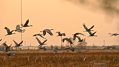 Katy Prairie ! (backup1940) Tags: katy sony cranes prairie sandhill sandhillcranes backup1940 katyprairie