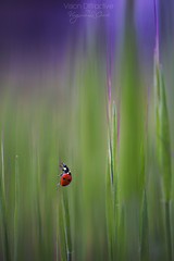 Red Spotted ((Virginie Le Carré)) Tags: macro insecte coccinelle ladybug rouge red bokeh flou herbe grass vert green violet purple coloré colorful