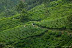 _DSC0939 (Roy Prasad) Tags: travel india workers tea harvest kerala hills prasad devan munnar kannan kannandevanhills royprasad