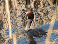 Great Crested Grebe (Peanut1371) Tags: red brown white black bird water grebe greatcrestedgrebe nationalgeographicwildlife