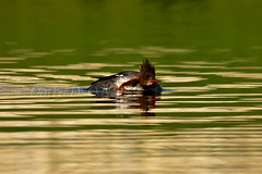 Can't a Gal Scratch without a Paparazzo Watching? (LongInt57) Tags: blue red orange brown white canada green bird nature water swimming foot pond bc okanagan wildlife preening floating ripples kelowna common hen scratching merganser