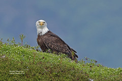 Eagle_4H4A1523 (bud_marschner) Tags: alaska baldeagle valdez valdeznarrows