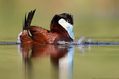 Ruddy Duck Bubbling Display (www.connorstefanison.com) Tags: lake canada water duck pond display central may columbia breeding swamp mating british marsh waterfowl thompson bubbling cariboo courtship ruddy 2016 nostrobistinfo removedfromstrobistpool seerule2