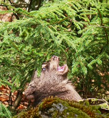 Kleiner Br- Appetit auf frisches Grn (waidlerwiki) Tags: baby germany bavaria br bayerischerwald grnes bayerwald nationalparkbayerischerwald fichtennadeln altschnau tierfreigelnde jungbr bavarianforestnationalpark nationalparkzentrumlusen landkreisfreyunggrafenau