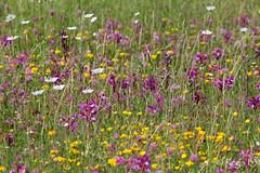 Pour toutes les mamans de l'Univers... (Rgis B 31) Tags: calmont orchide fleurs orchide
