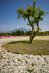 Lake Kawaguchi - Fuji Shiba-sakura Festival (5) () Tags: mountfuji lakekawaguchi  kawaguchiko   fujifivelakes sony a7r japan  yamanashiprefecture landscape  fujishibasakurafestival