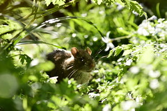 An Array of Whiskers (Leela Channer) Tags: light wild england plants sunlight cute green london nature animal closeup spring rat bokeh whiskers friendly creature wandsworth springtime brownrat