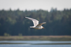 Gull returning to nest (Nyman Juha) Tags: summer birds canon suomi finland long dragonfly contemporary birding flight sigma 150 600 crop range 70d