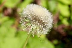 IMG_7948 (kween_beek) Tags: nature wisconsin outdoors weed dandelion wish wildflower wi