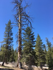 Ponderosa Pine - Pinus ponderosa (docentjoyce) Tags: yosemitenationalpark ponderosapine glacierpointroad ponderosapinus effectsofcaliforniadrought