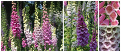 Foxgloves, Whitstable Castle Gardens (shadow_in_the_water) Tags: park flower collage garden kent diptych digitalis foxglove whitstable towerhill digitalispurpurea ct5 fbcover picmonkey whitstablecastlegardens