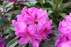 IMG_2998.JPG (robert.messinger) Tags: flowers rhodies