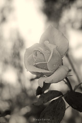 Rosa (Diego Serra) Tags: naturaleza flower nature rose rosa resplandor