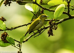 Olive-backed Sunbird (Modestus Lorence) Tags: singapore ngc naturereserve sunbird twop natureitsbest fantasticnature canon1dx 500mmf4isii