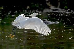 Snowy Egret, Gator in the background (tlightpainter) Tags: bird snowy flight alligator egret