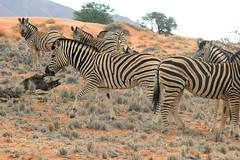 Lovely Zebras (zenseas : )) Tags: africa camping wild camp vacation holiday fun freedom driving desert stripes free zebra lovely namibia zebras roaming selfdrive plainszebra burchellszebra equusquagga equusquaggaburchellii namibrandnaturereserve selfdrivesafari namibrandfamilyhideout