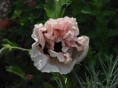 Unfolding 2 (Helen White Photography) Tags: summer flower floral june garden poppy opening emerging softpink