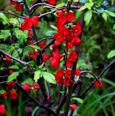May Flowers in Hamilton - Flowering Quince (Joseph Hollick) Tags: flower quince floweringquince