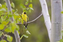 chardonneret jaune (Danny Lamontagne) Tags: yellow jaune canon sigma oiseau chardonneret