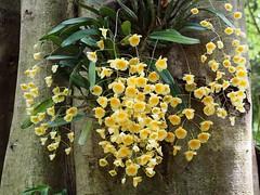 เอื้องผึ้ง (Dendrobium lindleyi Steud) #orchid #flower       ในบรรดากล้วยไม้หลากหลายร้อยพันธุ์ชนิด เอื้องผึ้ง เป็น 1 ใน 150 ชนิดของกลุ่มกล้วยไม้สกุลหวายในประเทศไทยที่มีความผูกพันกับท้องถิ่นทางภาคเหนือและภาคตะวันออกเฉียงเหนือมาช้านาน       เอื้องผึ้ง จัดอย