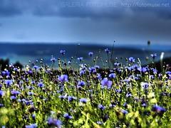 Cornflowers and cloudy sky (fotomuse2014) Tags: sky cornflowers