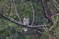 Julie Loughary - Barred Owl (Missouri Agriculture) Tags: owl avian barred
