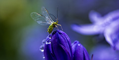 A green and blue world (Anthony Goodall) Tags: flower nature water insect droplets wings bluebell greenfly
