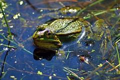 Frosch (Explore) (NachtfuchsOHZ) Tags: green water animal animals germany deutschland tiere nikon wasser outdoor frog grn frosch tier norddeutschland niedersachsen lowersaxony northerngermany dinopark mnchehagen d3200
