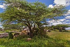 Lions at Gol Kopje 9-201 (Grete Howard) Tags: golkopjes kopje serengeti tanzania safari safariinafrica bestsafarioperator bestsafaricompany whichsafaricompany whichsafarioperator animals animalphotos animalsofafrica africa africansafari africanbush africananimals animal birds birdwatching birding gamedrive