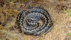 Adder (Vipera berus) (Nick Dobbs) Tags: reptile heath dorset viper adder venomous heathland venom vipera berus