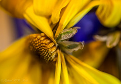 Drying (Gabriel FW Koch) Tags: flowers blue black detail green texture yellow closeup canon eos petals dof bokeh gray 100mm yellowflower wilted coneflower dried drying lseries