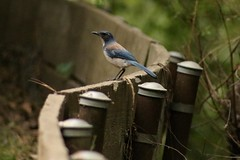 IMG_6110 (californiajbroad) Tags: bird nature outdoors wildlife birding scrubjay