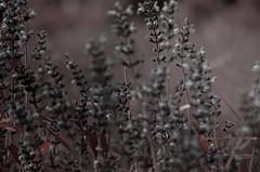 Triste printemps - Explore (29/05/2016) (david49100) Tags: 2016 avrill mai maineetloire d5100 nikon plante