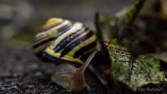 Drive-In (Gartenbänderschnecke auf der Durchreise) (Kay Wahdan) Tags: macro nature animal fauna garden spring natur snail makro tamron garten ruhrgebiet schnecke nordrheinwestfalen animalia gastropoda tier frühling mollusk pulmonata castroprauxel cepaeahortensis stylommatophora cepaea ruhrvalley orthogastropoda landlungenschnecken ickern bänderschnecke gartenbänderschnecke heterobranchia helicoidea helicini lungenschnecke helicinae molluscaweichtiere eumetazoagewebetiere echteschnecke verschiedenkiemer