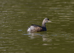 Australasian Grebe and Waterdrops (archie0) Tags: duck waterdrops grebe