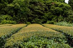 20160521-_MKZ2865 (Sagayama) Tags: tea  japanesetea
