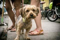 Yorkie (Anne J Gibson) Tags: dog yorkie closeup outdoors streetphotography kensingtonmarket pedestriansunday