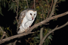 Eastern Barn Owl (Tyto deliculata), feeding on House Mouse (sam_hierofalco) Tags: tyto deliculata tytonidae aves