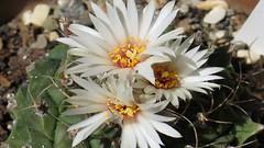 Obregonia (asithmohan29) Tags: flowers wild cactus plants cacti garden spines artichoke sepals plantsandflowers obregoniadenegrii obregonia artichokecactus lvaroobregn plantso ramonpdenegri