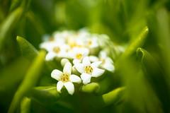 so neat and clean just like you (Yosi Oka) Tags: makroplanar502zf niigatacity bandai flower japan niigata