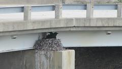 DenaliNationalPark04 (alicia.garbelman) Tags: birds alaska wildlife ravens nests denalinationalparkandpreserve