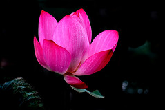 DSC_0122 Lotus (tsuping.liu) Tags: outdoor blackbackground bright blooming lighting lotus aquaticplant petal plant photoborder passion perspective photographt droplet nature naturesfinest natureselegantshots