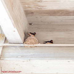 Barn Swallow (mikerhicks) Tags: barnswallow bird canoneos7dmkii edwinwarnernaturecenter edwinwarnerpark hiking nashville nature photography summer tamronaf1750mmf28spxrdiiivc tennessee usa unitedstates vaughnsgap wildlife geo:lat=3606053333 geo:lon=8690596333 geotagged outdoors geo:location=vaughnsgap exif:focallength=50mm camera:model=canoneos7dmarkii camera:make=canon geo:country=unitedstates geo:lon=86905963333333 geo:city=nashville geo:state=tennessee geo:lat=36060533333333 exif:lens=1750mm exif:model=canoneos7dmarkii exif:isospeed=400 exif:aperture=28 exif:make=canon