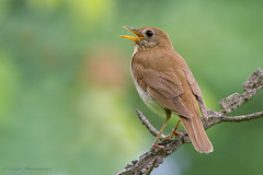 Veery (Photosequence) Tags: spring bokeh warbler songbird passeriformes woodwarbler