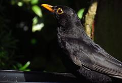 Blackbird - Male (Scozmo's Photery - Thank you for all the faves fol) Tags: nature birds wales garden wildlife feeder blackbird caerphilly